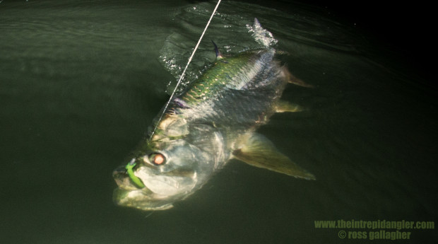 Hogy-Paddle-Tarpon-Boatside-IA-620x345 Southwest Florida Tarpon Season In Full Swing 2014 Reports Fishing Reports