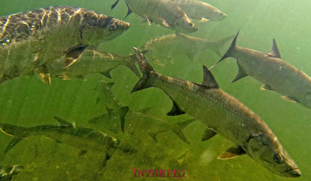 GoPro-Tarpon-UW-WM-620x361 Silver Blur - Chasing the Florida Tarpon Migration 2015 Reports Blog Fishing Reports