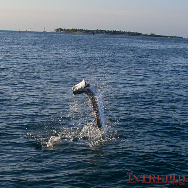 KW-Jumping-Tarpon-620x620 Silver Blur - Chasing the Florida Tarpon Migration 2015 Reports Blog Fishing Reports