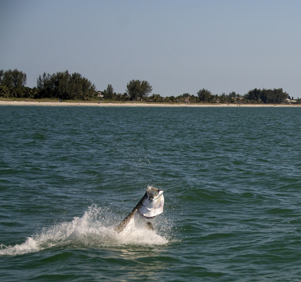 Redfish-Pass-Jumping-Tarpon-1200-620x581 Silver Blur - Chasing the Florida Tarpon Migration 2015 Reports Blog Fishing Reports