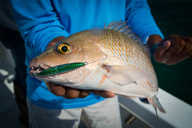 Squinnow-Jig-Snapper-1200-620x413 How To: Tips For Fishing Artificial Reefs Blog How-To Videos