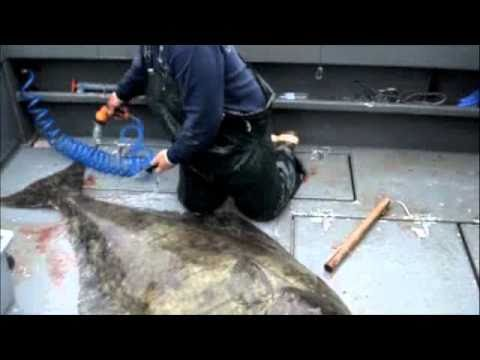 video-how-to-filet-a-300lb-halib Video: How To Filet A 300lb Halibut Fish Filleting How-To Videos