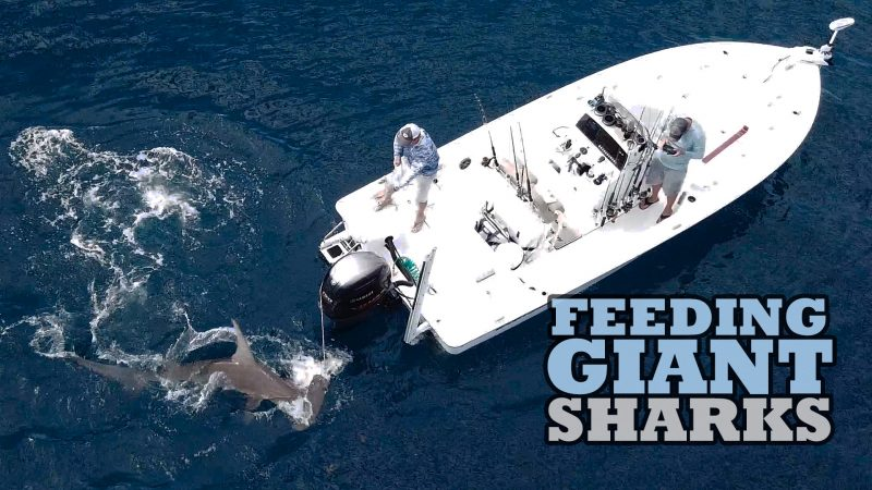 SHARKTHUMB-800x450 Hand Feeding Giant Sharks Videos